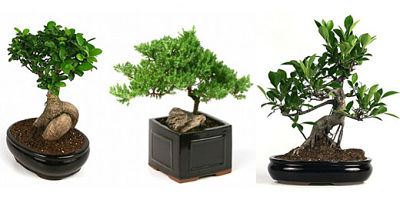 how to care for bonsai tree can