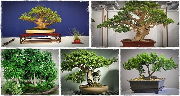 how to care for bonsai tree juniper