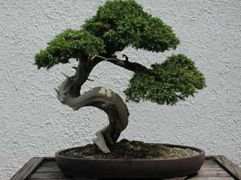 how to care for bonsai tree pdf