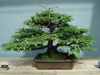 how to care for bonsai tree program