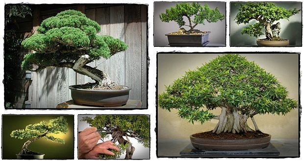 how to care for bonsai trees indoor