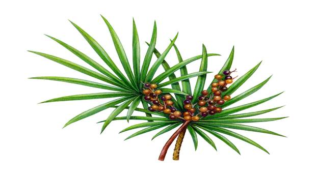 home remedies to increase sperm coun-saw palmetto