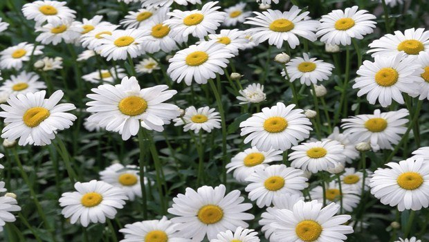 how to treat lactose intolerance-chamomile