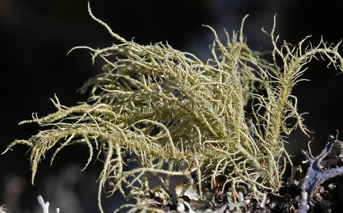 how to treat chlamydia - usnea