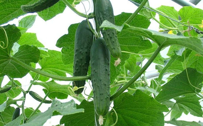home remedies to reduce body heat - cucumber