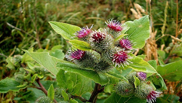 home remedies for PMS-burdock