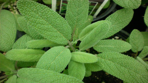 home remedies for body odor-sage