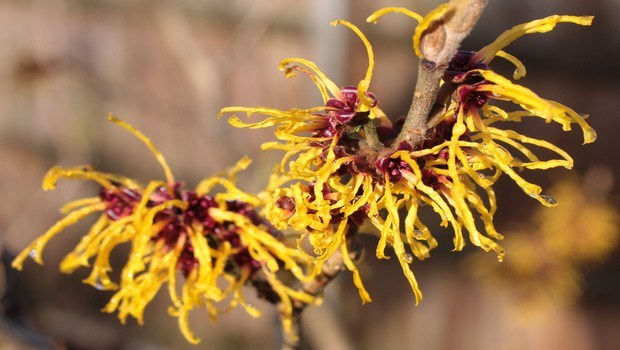 home remedies for body odor-witch hazel