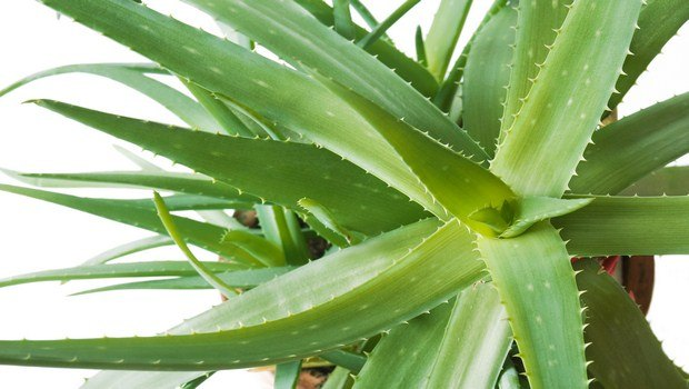 home remedies for foot blisters-aloe vera