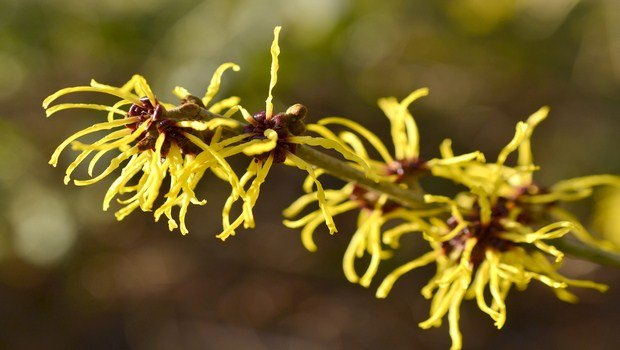 home remedies for frostbite-witch hazel