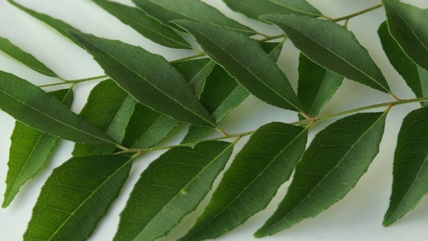 home remedies for obesity-curry leaves