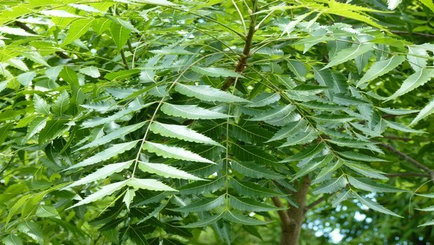 home remedies for prickly heat-margosa leaf