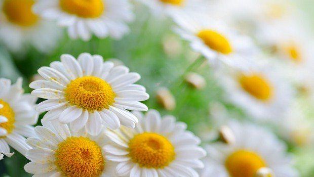 home remedies for red face-chamomile