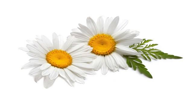 home remedies for restless leg syndrome-chamomile