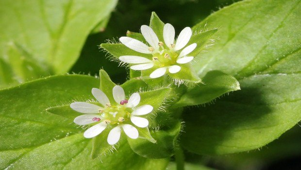 home remedies for tendonitis-chickweed