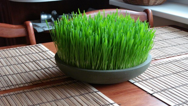home remedies for wisdom tooth pain-wheatgrass