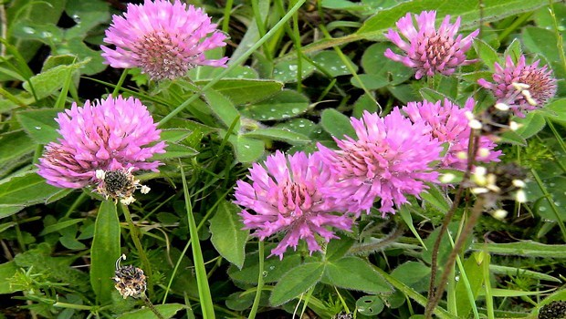 home remedies to increase breast size-red clover