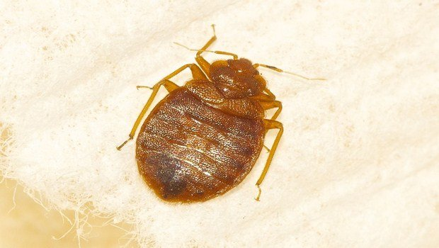 how to prevent bed bugs-acknowledge the signals of bed bugs