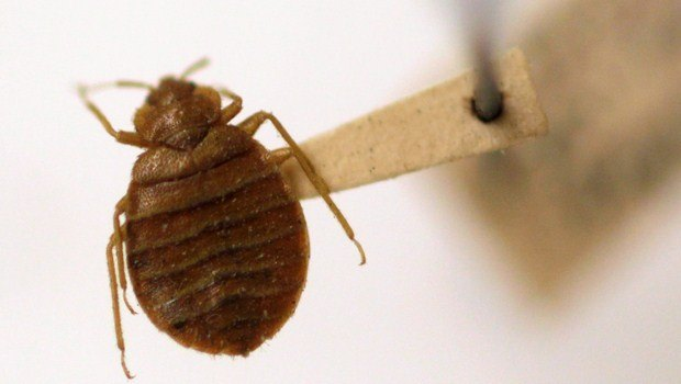 how to prevent bed bugs-be aware of the favorite places bed bugs settle in
