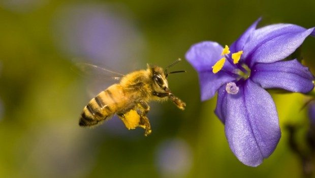 Santa Barbara, California, USA --- Honey bee hovering near blue-eyed grass flower --- Image by © Ralph Clevenger/Corbis