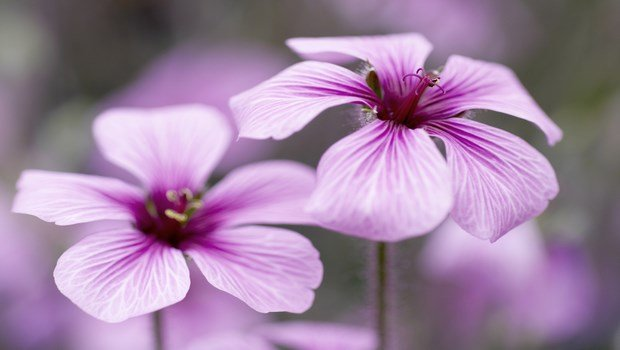 essential oils for dry skin-geranium essential oil