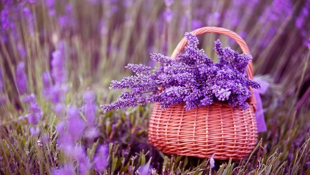 essential oils for dry skin-lavender