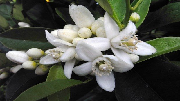 essential oils for dry skin-neroli