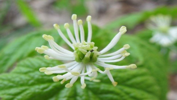 home remedies for bed sores-goldenseal