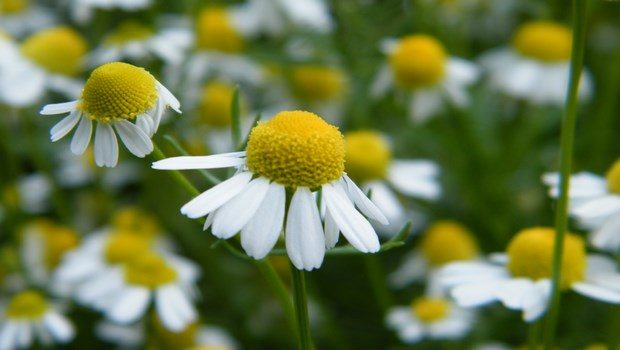 home remedies for bone spurs-chamomile