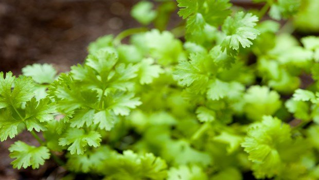 home remedies for osteoporosis-coriander