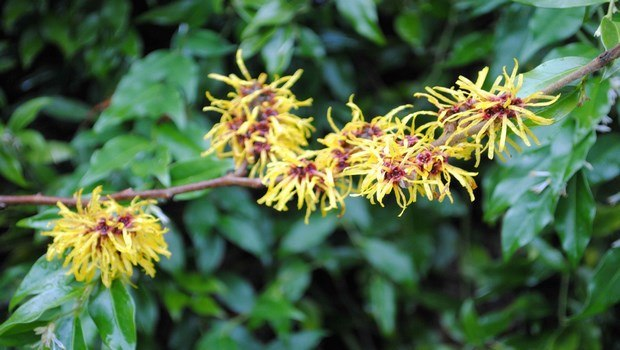 how to get rid of chicken pox scars-witch hazel