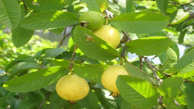 how to stop a toothache-guava leaves