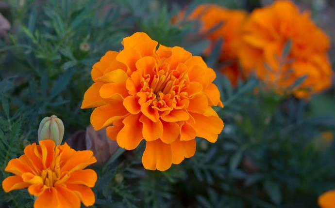 home remedies for bone spurs - marigold flowers