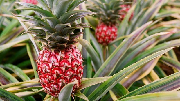 foods that fight cellulite-pineapple