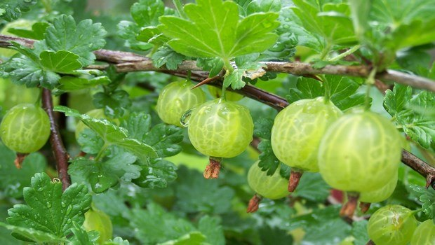 how to stop thinning hair-indian gooseberry