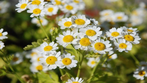 how to treat a headache-feverfew