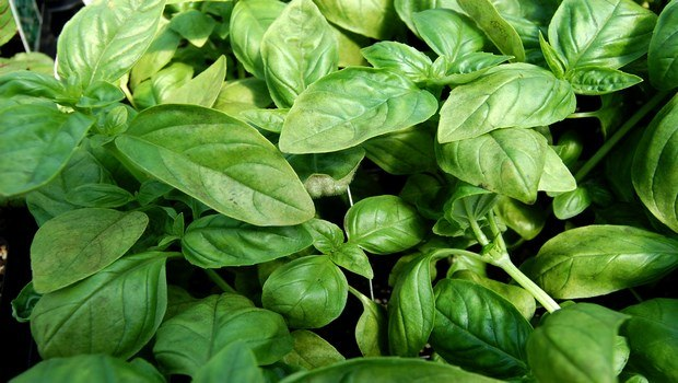low blood pressure diet-basil