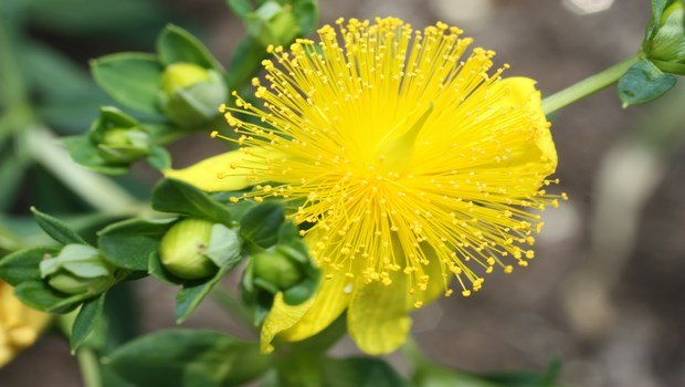 how to get rid of bruises-st. john's wort