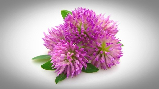 how to treat sebaceous cysts - red clover