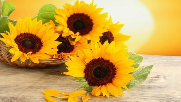 flowers for girls-sun flowers