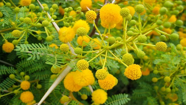 flowers for girls-yellow acacia
