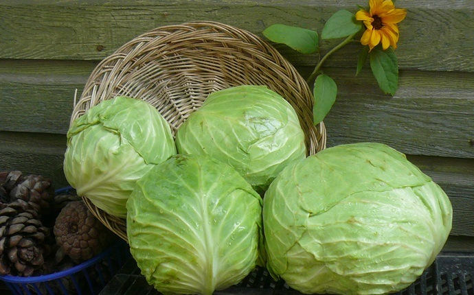 skin tightening face pack - cabbage and egg white face pack
