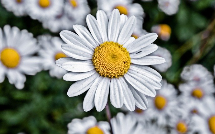 how to remove eczema - chamomile