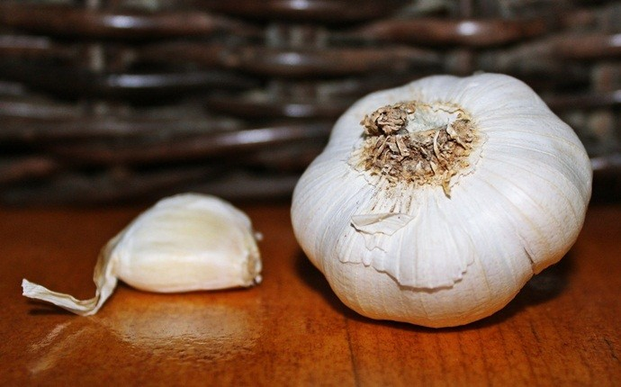 garlic for acne - garlic with any carrier oil