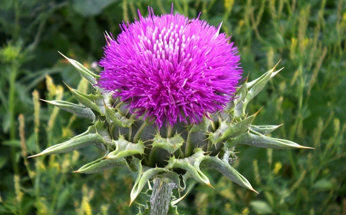 home remedies for sebaceous cyst - milk thistle