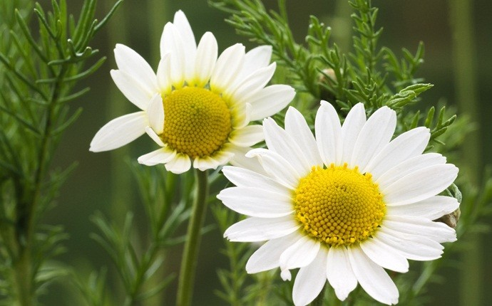 home remedies for whooping cough - chamomile
