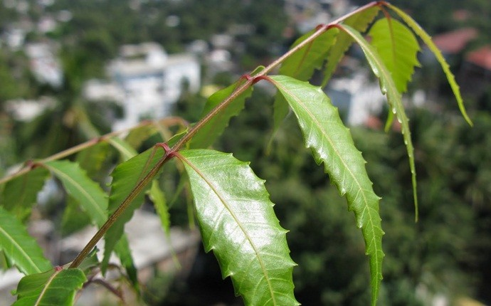 how to reduce dandruff - neem leaves