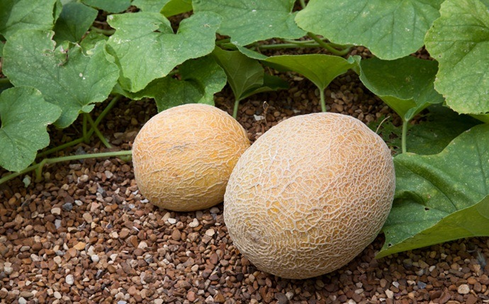 natural diuretic foods - melons