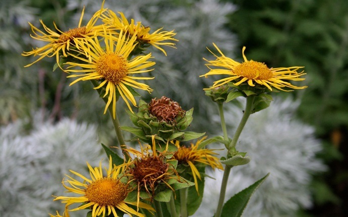 how to get rid of pneumonia - elecampane, honey, and water