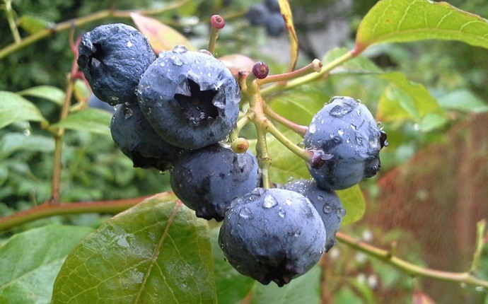 how to treat red eyes - bilberry extract